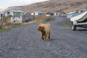 Dog in Akhiok