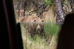 Kodiak brown bear, a sow (mamma bear)
