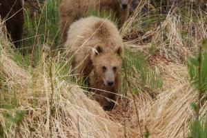 Kodiak brown bear cub