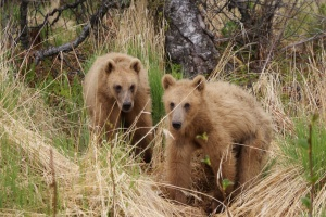 Two Kodiak brown bear cubs