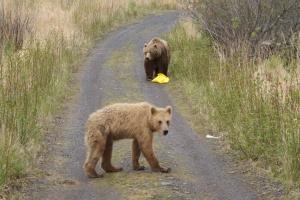 More Kodiak brown bears