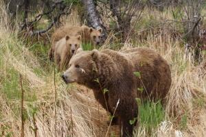 Kodiak brown bears in Larsen Bay